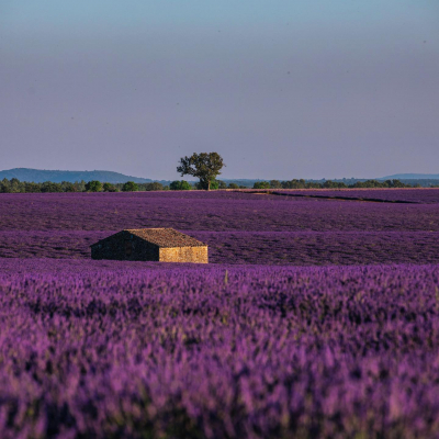 [France Expeditions] First stop: South of France region (#PACA) · Provence is home to one of the most beautiful shows of the region: the lavender fields flowering 🤩 See how those fields are so endless that the horizon is tainted in purple? - © 📸 @valentinpacaut / @theexplorersofficial - #theexplorers #instagramfr #jaimeslapaca #super_france #hello_france #france4dreams #igersprovence #igersmarseille #bestfrancepics #loves_france_ #provence #provencal #valensole #lavanderfield #paca #lavander #marseille #nice #toulon #lavande #maregionsud #provencealpescotedazur #explorefrance #france #southoffrance #purplegold