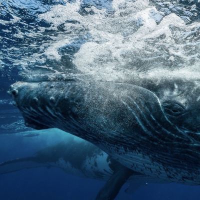[Take Action!] The Explorers Shop donates 10% of your purchases to support concrete field actions protecting biodiversity. Discover now in our stories the actions we support thanks to you! . © 📸 @sylvaingirardot / @theexplorersofficial . #theexplorers #takeaction #protection #whales #humpbackwhales #baleine #whalewatching #polynesie #frenchpolynesia #biodiversity #wildlife #wildlifeprotection #environment #environnement #iucn