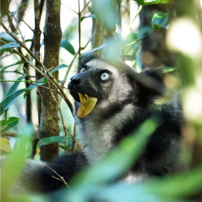 """[Take Action!] Understanding lemurs' populations in Vohimana is one of the actions we support through the donations we make.In the protected area of Vohimana, the association """"L'Homme et l'Environnement"""", studies the lemurs' populations for a better preservation of these primates and their habitat, raising awareness for better involvement of local actors in the sustainable management of this territory.Learn more about this action on our website! . © 📸 @olivier_behra / @theexplorersofficial - #theexplorers #protection #lemur #vohimana #vohimanaforest #madagascar #madagascar🇲🇬 #africa #ig_africa #conservation #primaryforest #igersmadagascar #nature #lemursofinstagram #wildlifeconservation #animalphotography #lemurien #biodiversité #biodiversity #iucn #sustainable #lhommeetlenvironnement #endangeredspecies"""